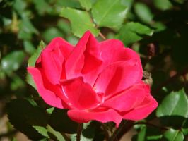 Red Rose by photorox33