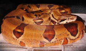2009 Female Hypo Boa by JayConstrictors12