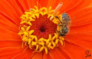 bee on a flower by DarraChese