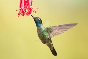 Magnificent Hummingbird by Jamie-MacArthur