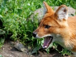 Dhole 2 by Exthree-photo