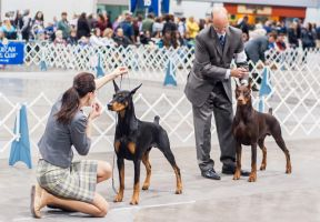 Doberman Pinschers by petrichore