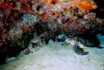 Sea Turtle in Coral by Art-Photo