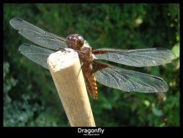 Dragonfly2 by bagnaj97