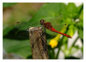 Red Dragonfly by evaPM