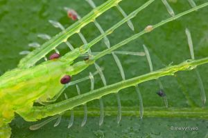 Katydid with fancyful legs by melvynyeo