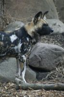 African Wild Dog 008 by MonsterBrand-stock