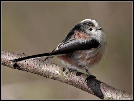 Long Tailed Tit 3 by cycoze