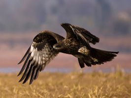 Black Kite Coming In - II by InayatShah