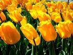 Yellow Tulips by Angelkissedhorse