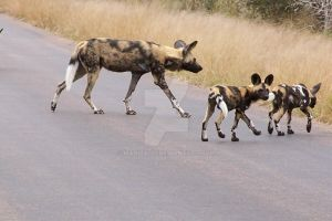 African Wild dog pack 'close' by Madiba127