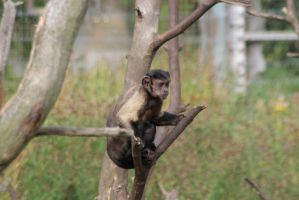 Capuchin Monkey by tammyins