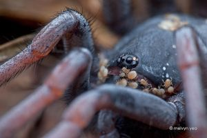 Tube Trapdoor spider infested with mites by melvynyeo