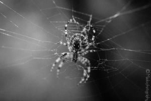 Spider by madaphotography