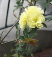 yellow rosaceacea 07 by CotyStock