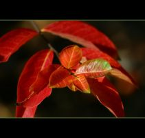 Red Leaves by Vividlight