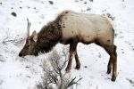 Wapiti Wishing for the End of Winter by drigulch