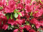 Azalea Bush After the Rain by transcendelia