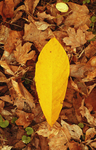 Yellow Leaf by c-car