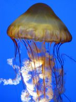 Pacific Sea Nettle by Tailfeathrz