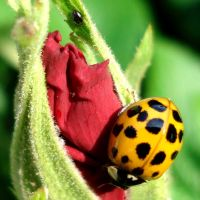 yellow ladybug on a red rose by Dieffi
