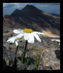 flower at aragats by the-mish