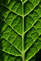 veins of the leaf by julietonnesen