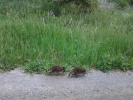 baby racoons 2 by kyupol