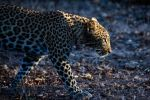 Leopard in Early Morning Light by sellsworth
