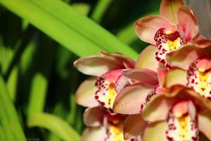 Orchid by N-ScapePhotography