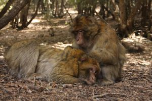 Barbary Macaques Grooming by Solrac1993