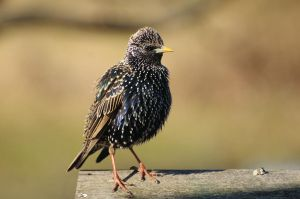 Puffed up starling by Rajmund67
