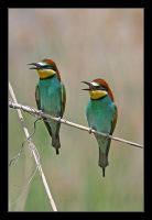 Bee-eater by invisiblewl