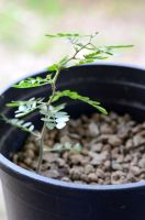 Tx Ebony Seedling Leaning by lamorth-the-seeker
