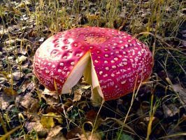 Toadstool by Titu89
