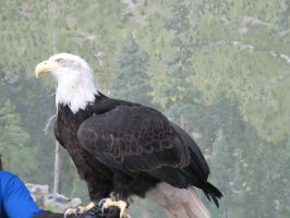 Bald Eagle 3 stock by thiselectricheart
