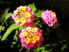 Pink and Yellow Flowers by DuchesseOfDusk