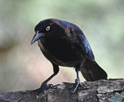 Grackle? 3-1-11 by Tailgun2009