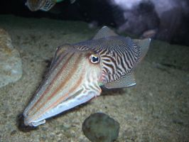 cuttlefish 1 by meihua-stock
