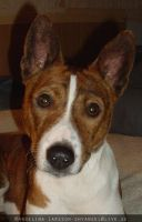 Pedro the Basenji by Angelic-Fighter
