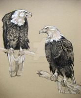 American Bald Eagle Sketch by HouseofChabrier