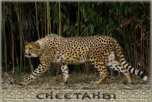 cheetah81.3 by redbeard31