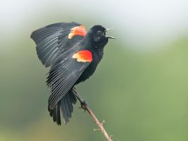 Red-wing Blackbird in courtship display by Jamie-MacArthur