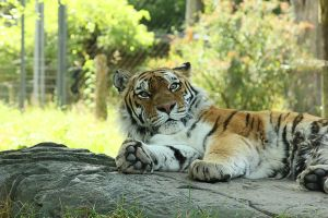 Tiger 2 by RinFlorin