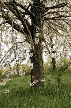 Appletree Infrared 1 FREE STOCK by AStoKo by AStoKo