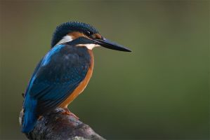 Kingfisher by MartinAmm