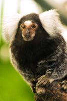 Common Marmoset by h-e-photography