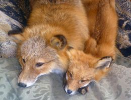 Fox adult and pup by Tricksters-Taxidermy