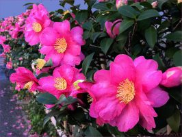 Fence of the camellia4959 by osam-devet