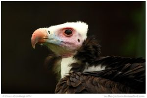 White headed Vulture by In-the-picture